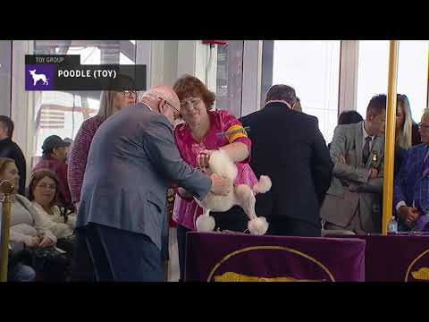 Poodles (Toy) | Breed Judging 2019