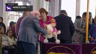 Poodles (Toy)   Breed Judging 2019