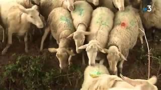Montpellier : des moutons pour entretenir les espaces verts