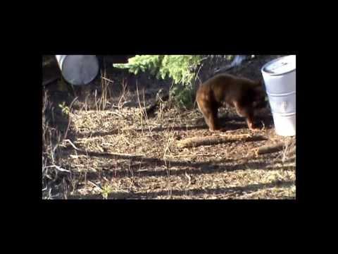 Rylan's 2012 Saskatchewan Cinnamon Bear