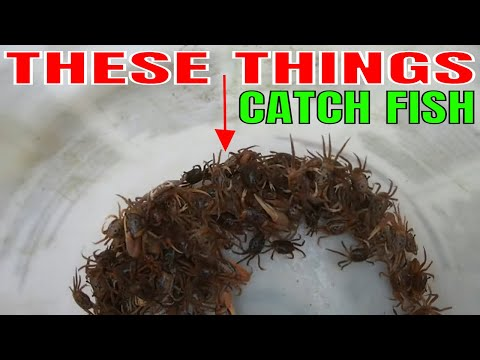 USING LIVE FIDDLER CRABS FOR MULTIPLE RIVER FISH IN FLORIDA