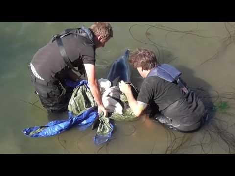 Brixham Harbour Dolphin Strandings 23/08/2016  - Video6 of 8