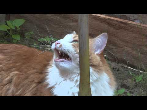 Mon chat Ptibou au Gabon