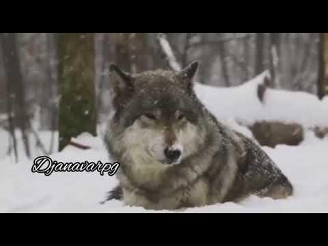 Canavar #canavar #video #qis