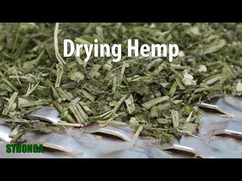 Harvesting, Drying & Extracting CBD From Hemp   Drying Hemp With Stronga