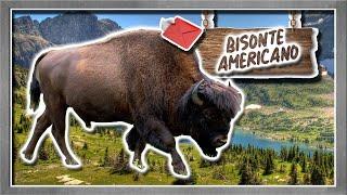Bisonte Americano | El resoplido de un guerrero americano |(Animales del Mundo) |Petición|