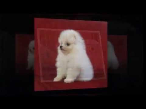 chó pomeranian cute hcm 2016 – 0909.162.570