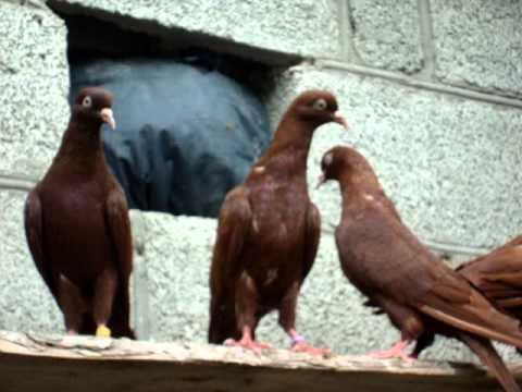 Красные бакинские голуби ст.Отрадная
