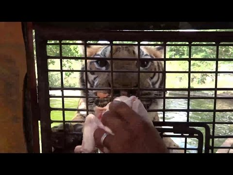 "Zoobic Safari  ""Feeding The Tigers"" Subic Bay Freeport Zone (MT)"