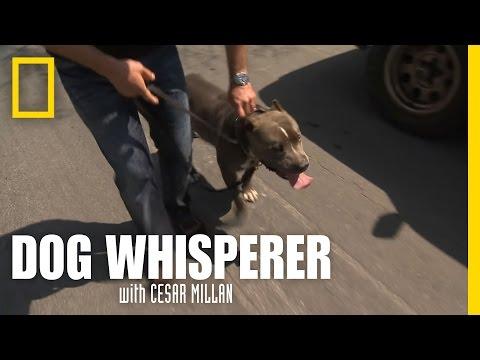 Pit Bull Pull | Dog Whisperer