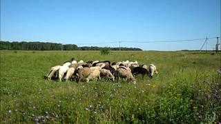 овцы с овчаркой в поле