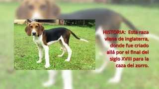 Razas de perros, Foxhound Ingles El foxhound inglés es un una raza ...