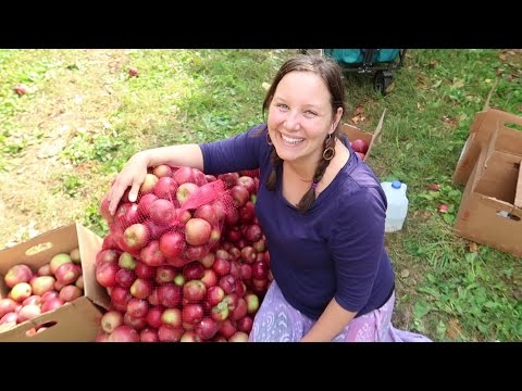 Gleaning 300 lbs of Apples In 1 Hour !!!