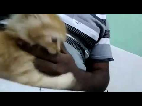 Mickey the Cute kitten playing with finger