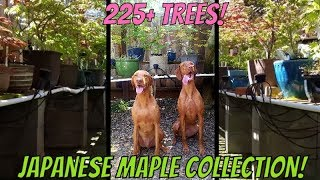 Largest Personal Japanese Maple Collection IN THE WORLD!