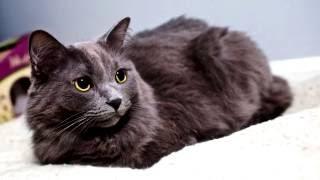 Порода кошек .Нибелунг. Кошка с длинной и прекрасной шерстью ,которой можно наслаждаться вечно