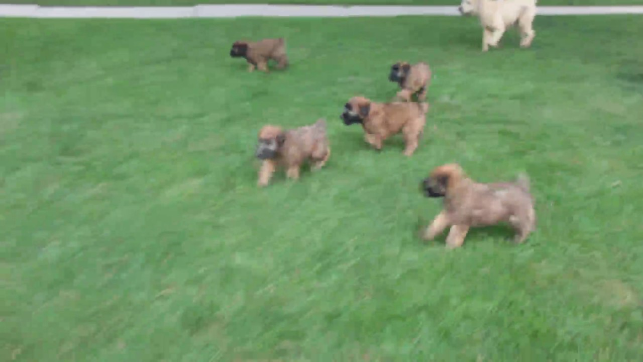 Soft Coated Wheaten Terrier Puppies For