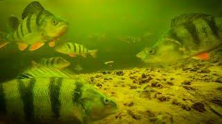 ТАКОГО ЕЩЕ НЕ БЫЛО! СТАИ БОЛЬШИХ ОКУНЕЙ! ловля окуня на балансир зимняя рыбалка2021 горбачи/ирокезы/