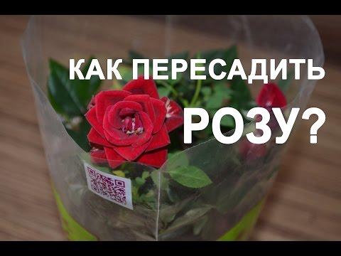 Как пересадить розу?