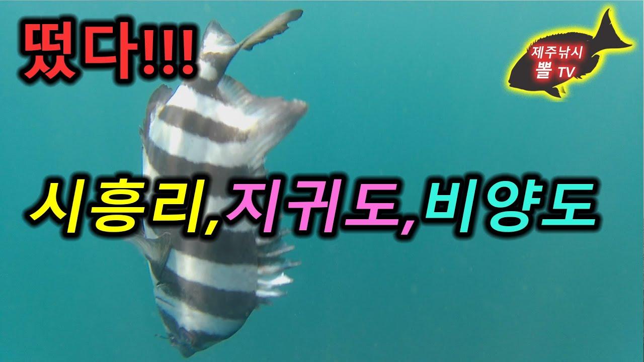제주도 벵에돔 낚시- 시흥리,지귀도,비양도 - 긴꼬리 벵에돔,尾長グレ,Opaleye fishing in Jeju island