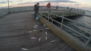 Herring Pier Fishing - BLITZ at Dusk - Full Racks of Fish!