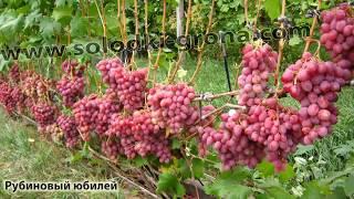 #Виноград от Сергея Гагина каталог9