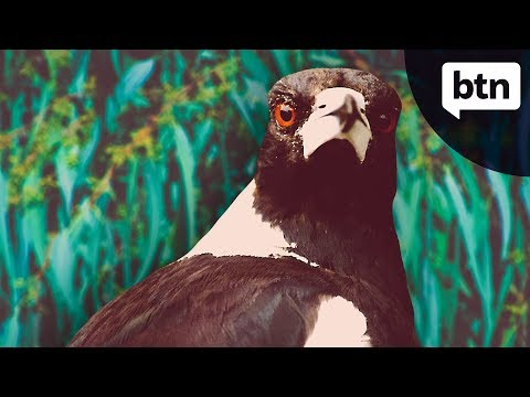 Magpie Swooping Season - Behind The News