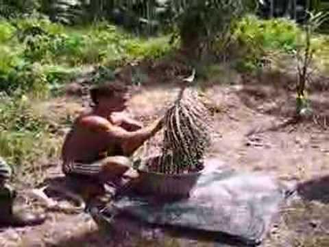 acai threshing in the Brazilian Amazon