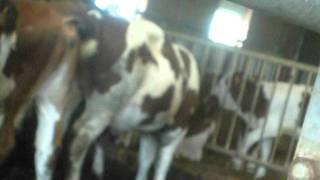 merde de vache