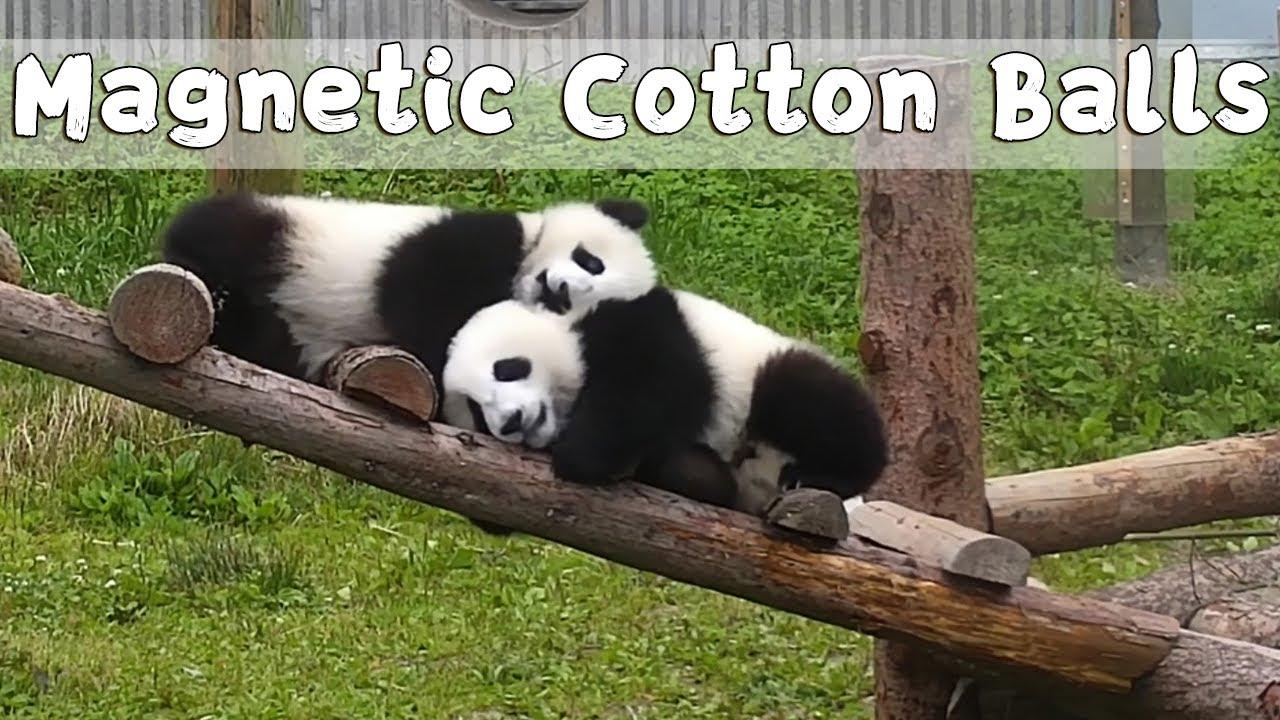 panda látása