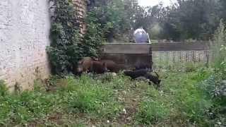Slovački kopov štenci i svinje prvi susret