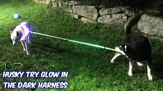My Huskies Try Glow In The Dark Harness