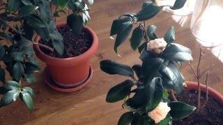 Цветок Замиокулькас: характеристика, правила ухода, видео