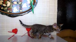 Юниорте - котенок породы тойгер. Питомник FairyBerendey