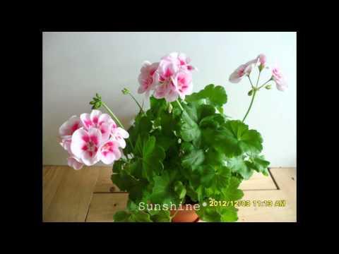 Pelargonium  Flower Fairy White Splash