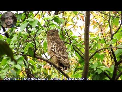 Brown Fish Owl A Bird Video.