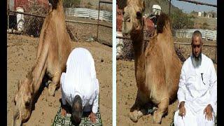 من الغرائب في السعودية جمل يصلي مع صاحبه سبحان الله