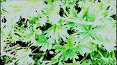 Купить лапчатку белую и настойку лапчатки белой в магазине мир целебных трав. Лапчатка белая лучшее средство для лечения щитовидной железы,