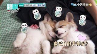 2016.05.01《寵物大聯萌》完整版 幼犬們萌翻 連女神也融化