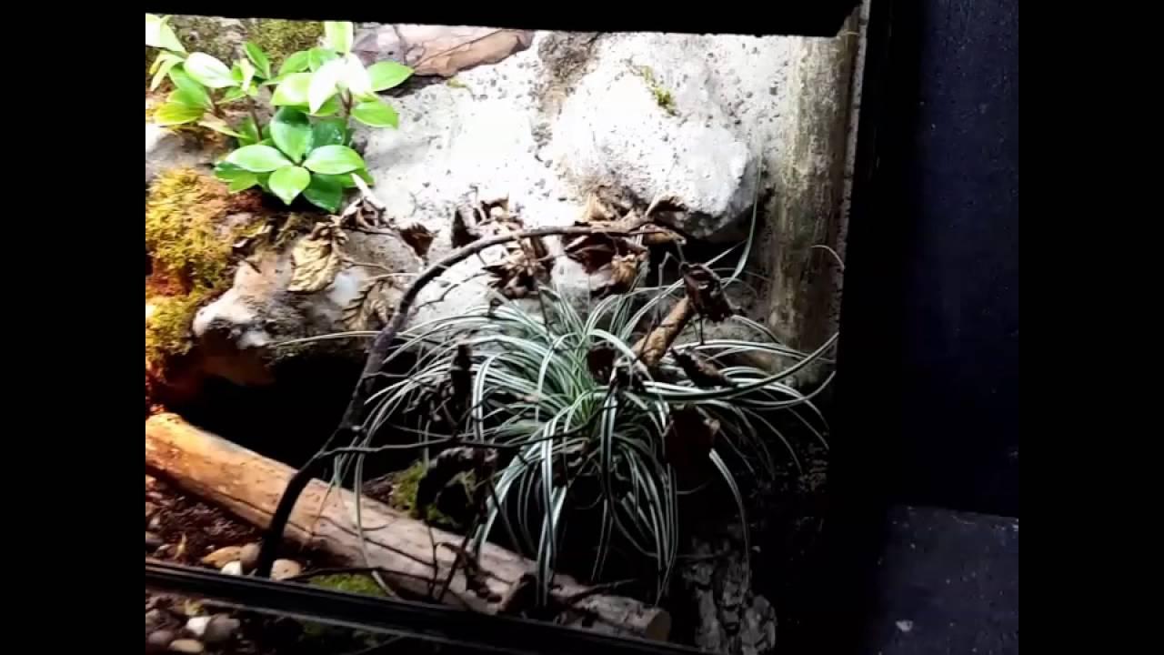 Corn Snake Natural Vivarium Terrarium Youtube
