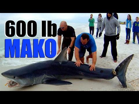 600 lb MAKO SHARK CAUGHT OFF NAVARRE BEACH FLORIDA - AMERICAN YAKERS