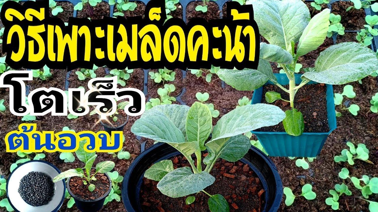วิธีเพาะเมล็ดคะน้า ให้โตเร็ว ต้นอวบ ใบใหญ่ | How to plant kale seeds