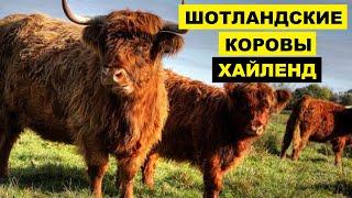 Разведение шотландской породы коров Хайленд как бизнес идея | КРС | Шотландские Коровы Хайленд