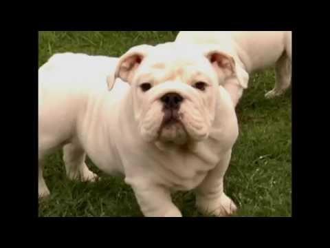 Baby Gabe the Bulldog is Camera Shy!