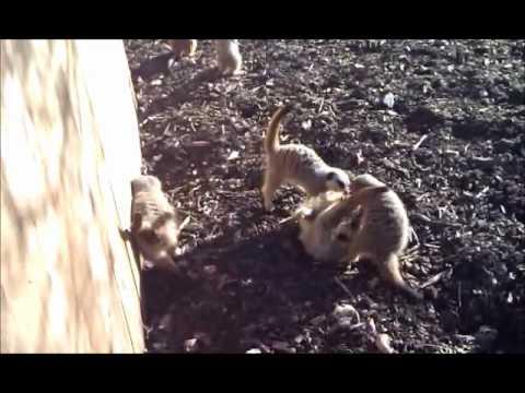 meerkats tickle play fight