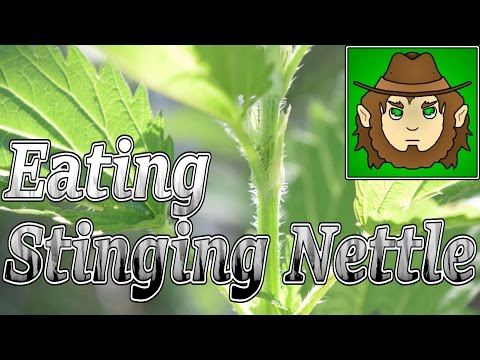 Eating Stinging Nettle, Safe? (Edible Wildlife Vid)