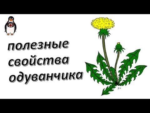Одуванчик - лечение и полезные свойства