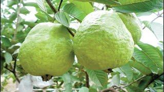 Top 10 Fruits for Diabetes Patients thumbnail
