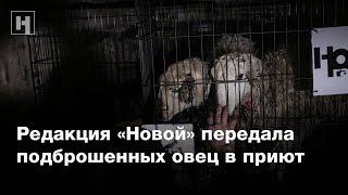 Редакция «Новой» передала подброшенных овец в приют
