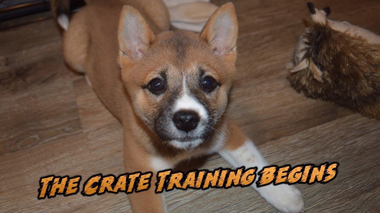 Week 2 Of Having My Shiba Inu Casca Crate Training